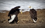 Bald eagles by GIGIBL, photography->birds gallery