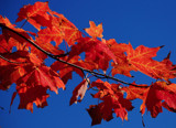 maple red and sky blue by solita17, Photography->Nature gallery