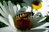 Dancing on Daisies by rozem061, Photography->Insects/Spiders gallery