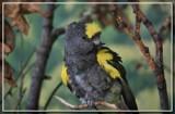 Meyer's Parrot by Jimbobedsel, photography->birds gallery