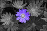 Purple Daisy by ccmerino, photography->flowers gallery