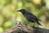 Starling by egggray, photography->birds gallery