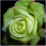 Green Rose by ccmerino, Photography->Flowers gallery