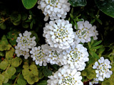 Candytuft by trixxie17, photography->flowers gallery