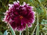 Frilly Dahlia by trixxie17, photography->flowers gallery