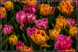 Amsterdam Tulip Festival 13 by corngrowth, photography->flowers gallery