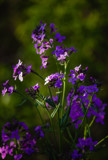 Wild Phlox by Pistos, photography->flowers gallery