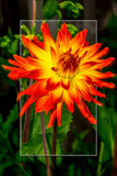 Dahlia Show 26 by corngrowth, photography->flowers gallery