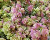 Ornamental Oregano by trixxie17, photography->flowers gallery