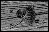 Leaf on Wood_B&W by tigger3, contests->b/w challenge gallery