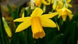 Hapus Dydd Gwyl Dewi! by braces, photography->flowers gallery