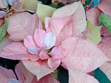Pastel Poinsettia by trixxie17, holidays->christmas gallery
