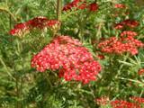 Yarrow by trixxie17, photography->flowers gallery