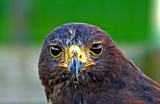 harris Hawk by biffobear, photography->birds gallery