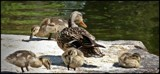 Duck Familys by GIGIBL, photography->birds gallery
