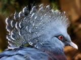 Blue pigeon by Paul_Gerritsen, Photography->Birds gallery