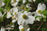 Dogwood by fivepatch, photography->flowers gallery