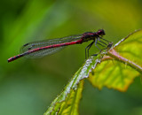 Large Red by biffobear, photography->insects/spiders gallery