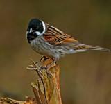 Mr by biffobear, photography->birds gallery