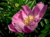 ~Pinkish-Purple Peony~ by mimi, Photography->Flowers gallery