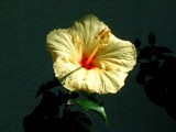 Hula Girl Hibiscus - revised by ritabob, Photography->Flowers gallery
