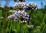 Prairie Onion by trixxie17, photography->flowers gallery