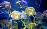Lookdown Jacks by luckyshot, photography->underwater gallery