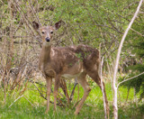 Deer in the Woodlands by Pistos, photography->animals gallery