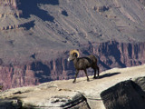 Desert Bighorn by jrasband123, Photography->Animals gallery