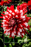 Dahlia Show 32 by corngrowth, photography->flowers gallery