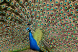 Peacock showoff by Paul_Gerritsen, Photography->Birds gallery