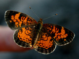 Orange Butterfly by DrPepper89, Photography->Butterflies gallery