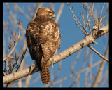 RED TAIL HAWK by garrettparkinson, photography->birds gallery