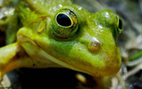 Kermit is watching you ! by rozem061, Photography->Reptiles/amphibians gallery