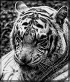 Cat Napping by tigger3, contests->b/w challenge gallery