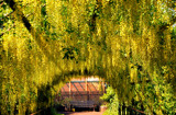 The Laburnum Arch by braces, Photography->Gardens gallery