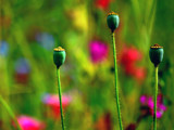 Poppy Seeds Anyone? by braces, Photography->Flowers gallery