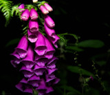 Foxglove by coram9, photography->flowers gallery