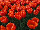 Red Tulips by Pistos, photography->flowers gallery