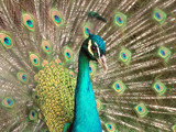 The beauty of peacock by mserafim, Photography->Birds gallery