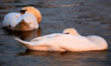 Sleeping Beauties by braces, Photography->Birds gallery