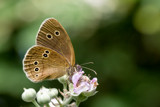 Ringlet Butterfly by MJsPhotos, photography->butterflies gallery