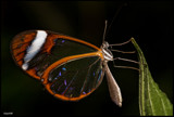 glass butterfly by wimgroen, Photography->Macro gallery