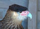 Caracara by biffobear, photography->birds gallery