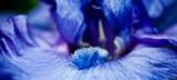 Bearded Iris by shorto, photography->macro gallery