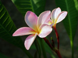 Plumeria by ResDesOK, Photography->Flowers gallery