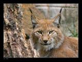 Lynx by kodo34, Photography->Animals gallery