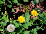 The Life Of The Dandelion by braces, Photography->Flowers gallery