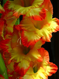 Glads by ccmerino, Photography->Flowers gallery
