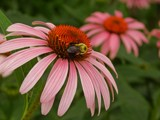 Coneflower and Bee by trixxie17, photography->insects/spiders gallery